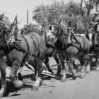 Clydesdale draft horses pull a fire wagon as they enter the 1958 Rose Parade in Pasadena | Photo by Earl Leaf/Michael Ochs Archives/Getty Images
