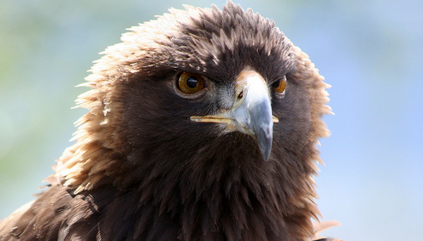 golden-eagle-11-22-13-thumb-600x343-64517