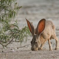 Cadiz might imperil Mojave Trails' wildlife, such as this black-tailed jackrabbit.