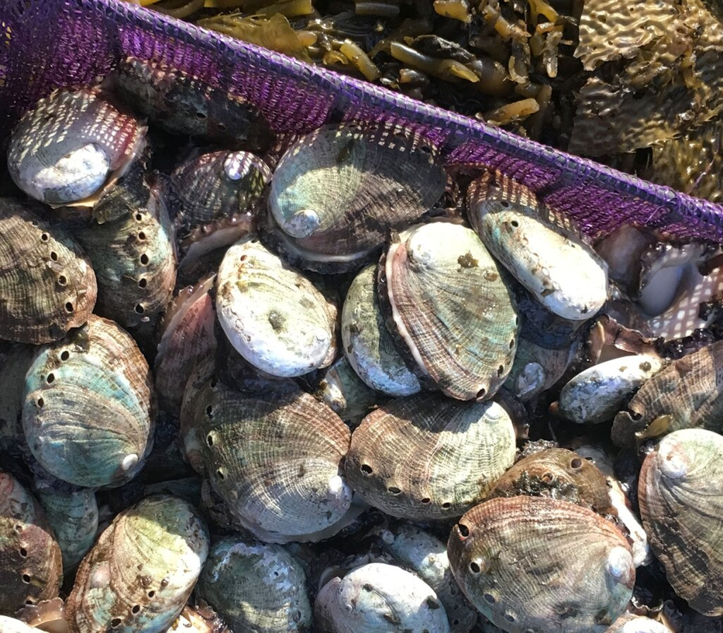 Crate of abalone shells | Earth Focus
