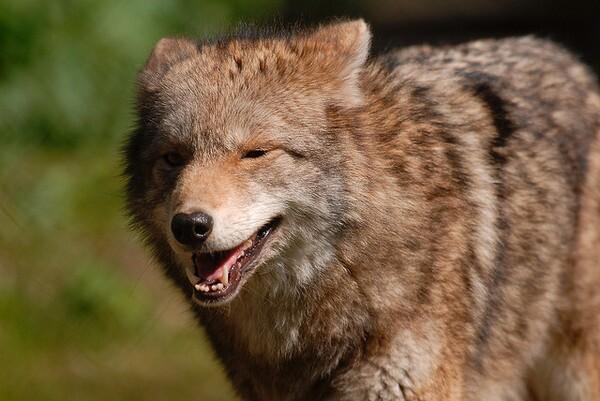 coyote-ban-contest-2-5-14-thumb-600x401-68116