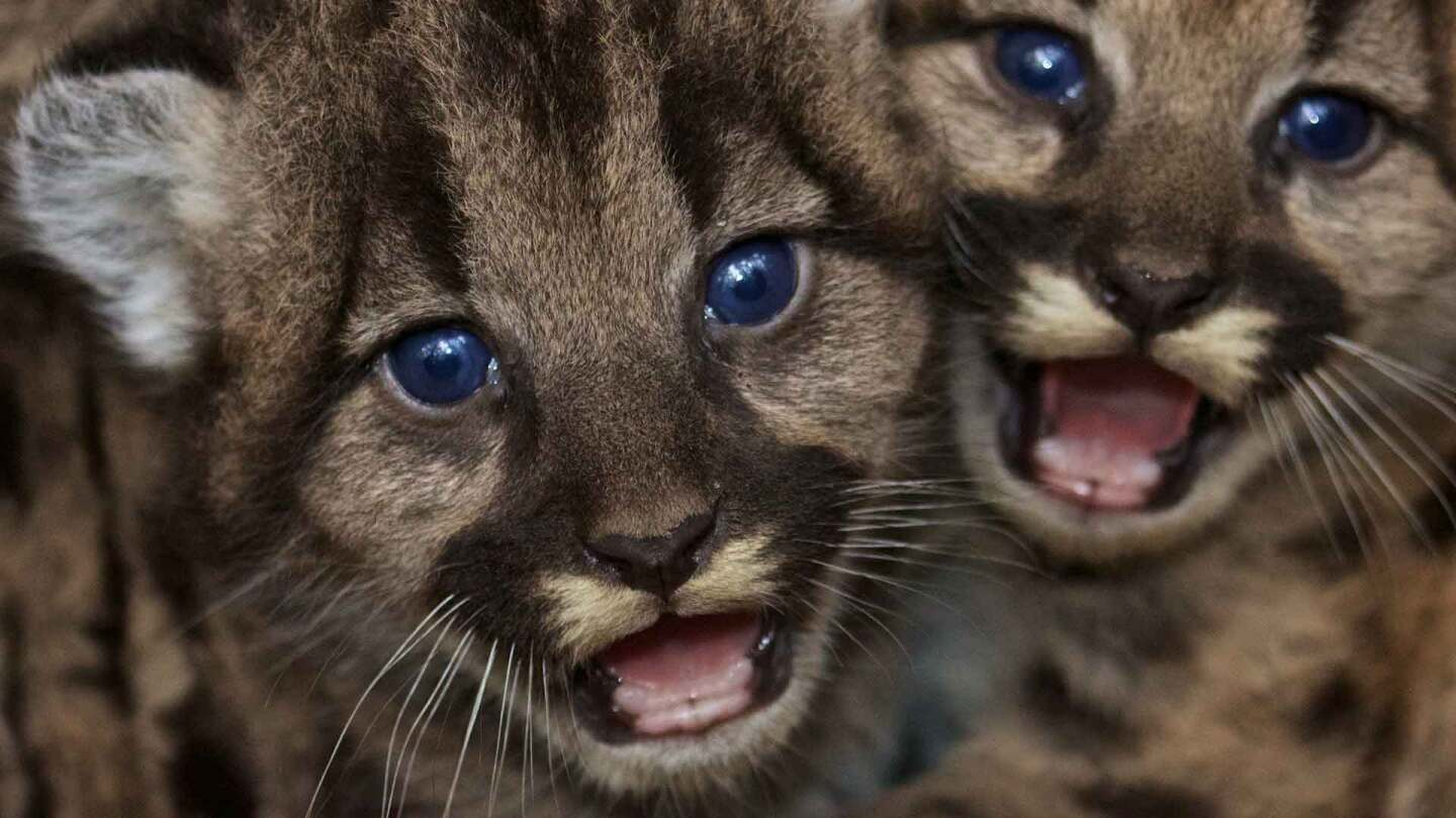 mountainlionkittens1920.jpg