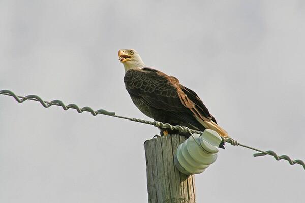 Bald eagle on a power pole