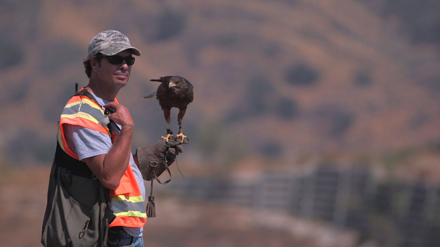 Falconer with his Harris hawk 2