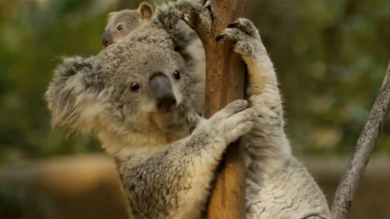 koalastill1.jpg