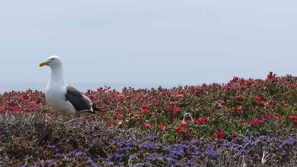 A parent and its chick (peeking out, center), in a patch of non-native ice plant | Photo by Zach Behrens/KCET