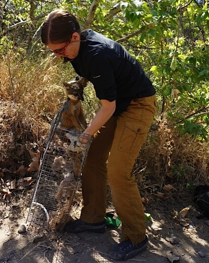 Christie Boser, biologist with The Nature Conservancy, holds up a trap with a young male fox inside. Island foxes weigh only about 4 pounds and are the size of housecats.   Photo: Katherine Gammon