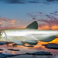 Photo collage: Longfin smelt and Alviso Slough | Photos Satish J,/US Bureau of Reclamation