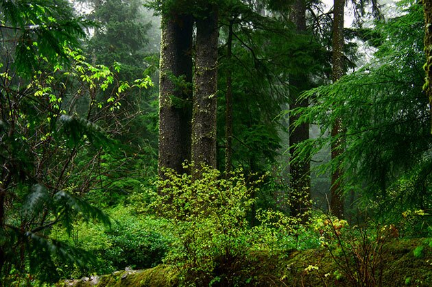 Marbled murrelet habitat in an old growth forest in Oregon.