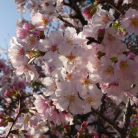 Close-up view of cherry blossoms in Little Tokyo.