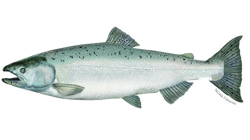 winter-runchinooksalmon.jpg