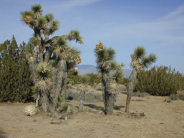 y-brevifolia-brevifolia-10-25-13-thumb-600x450-62586