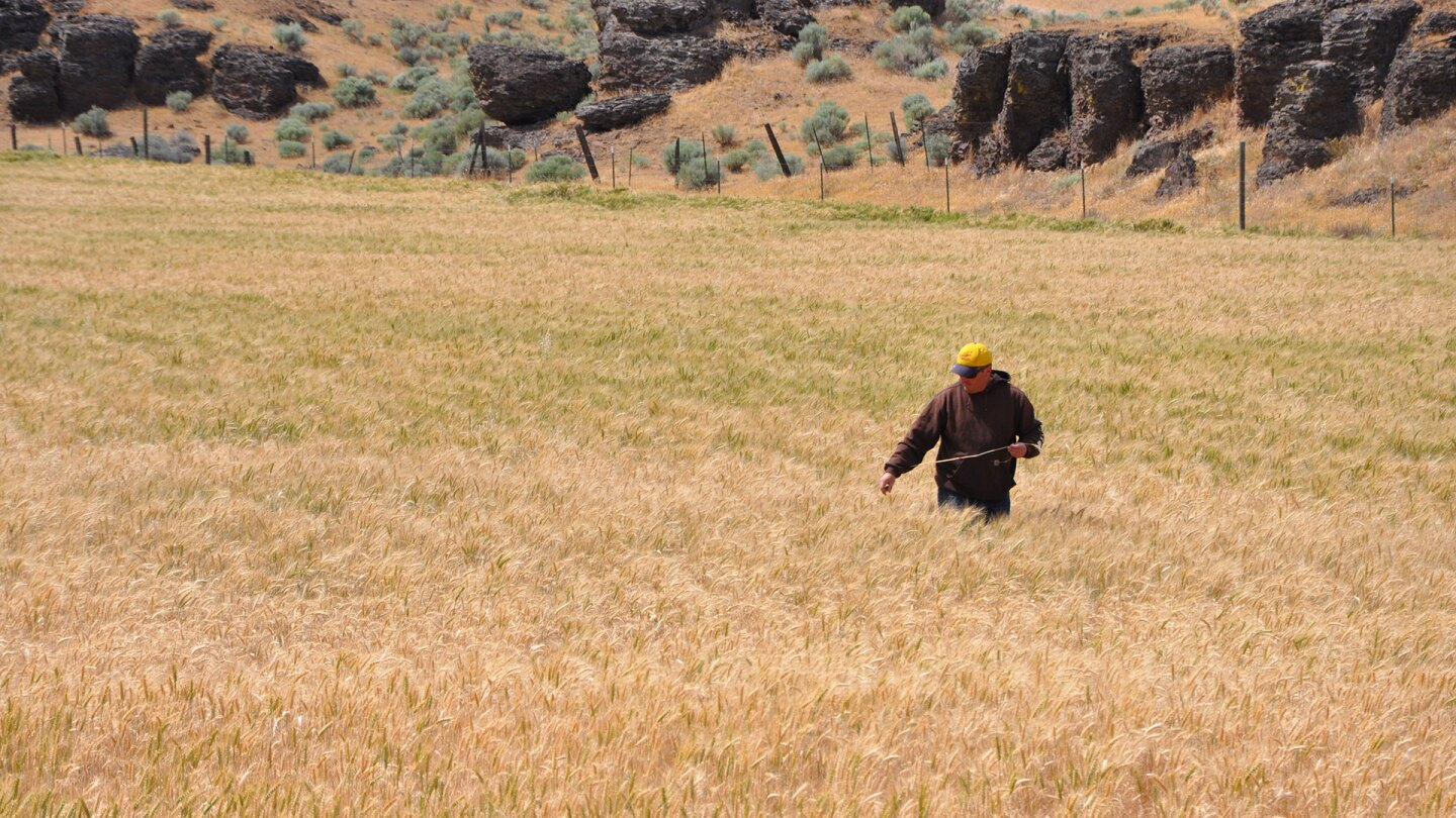 Noah Williams examines his wheat crop in a field that was previously planted with cover crops to enrich the soil. He said the wheat growing in these areas appeared to handle stress better. | Natural Resources Conservation Service, Oregon/Creative Commons