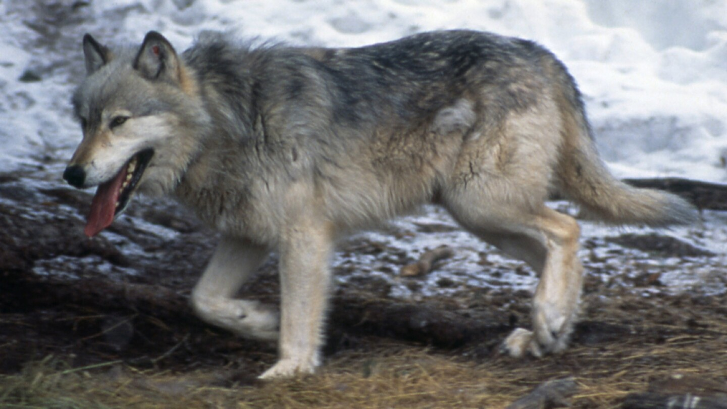 Wolf #10 just before release into Yellowstone National Park, 1995 | Photo: Jim Peaco/NPS