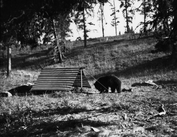 A black bear explores a tent. Courtesy of the Security Pacific National Bank Collection, Los Angeles Public Library.