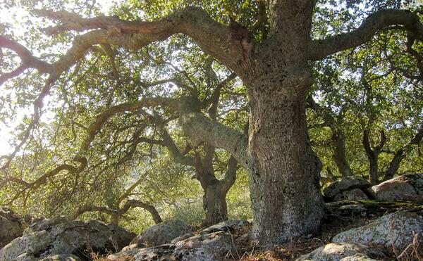 coast-live-oak-5-13-14-thumb-600x371-73909