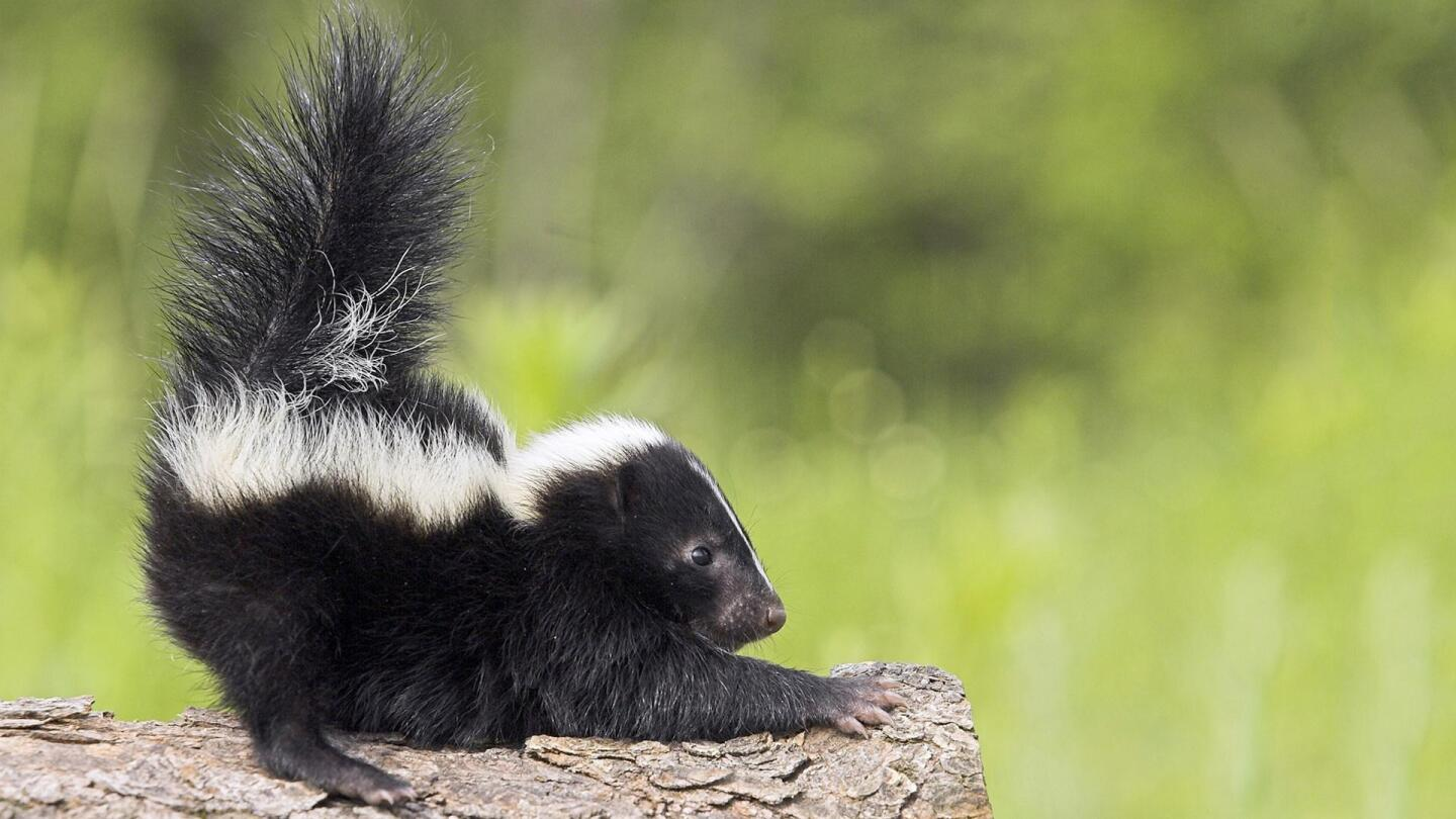 A skunk sticks its tail straight up.