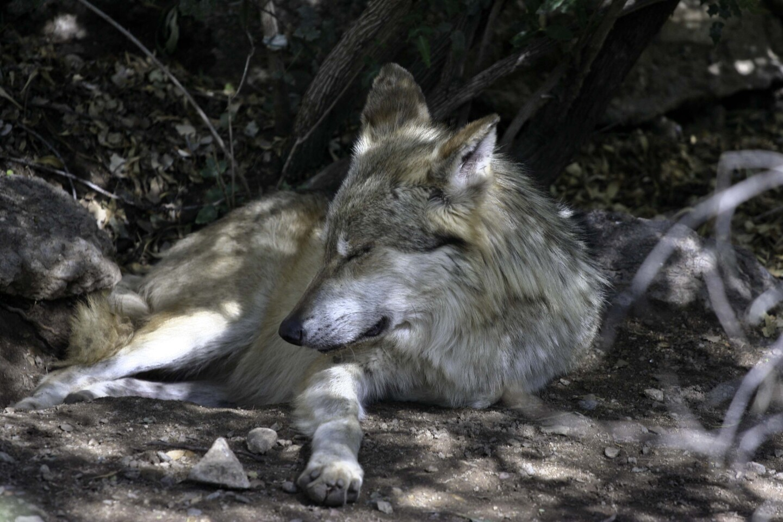 mexican-wolf-3-3-16.jpg