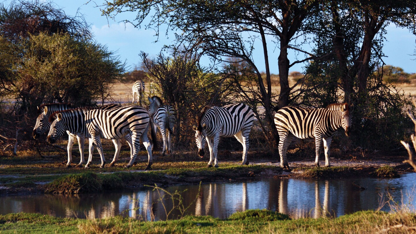 Zebras at a watering hole.