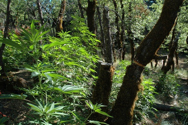 Trees damaged to make room for light to hit marijuana plants in a California national forest. | Photo: Courtesy USFS