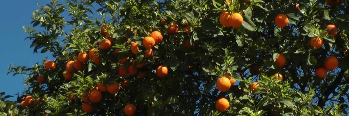 "Orange trees   Still from ""Artbound"" Current:LA"