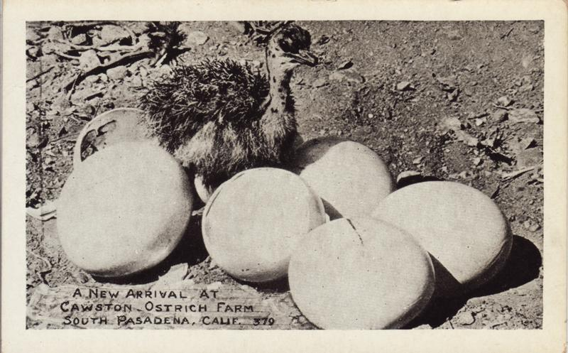 Hatchlings were a popular attraction at Southern California's ostrich farms. Postcard courtesy of the LA History Archive, the Studio for Southern California History.