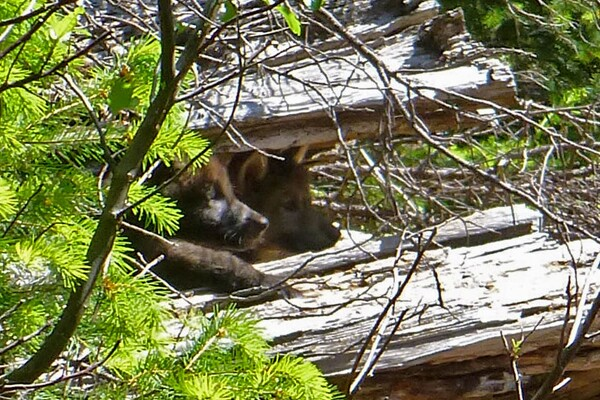 Who's your daddy? OR-7, probably. Wolf cubs in southern Oregon