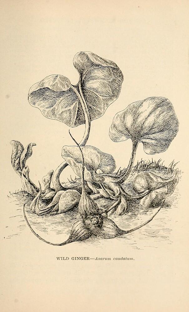 Wild Ginger | Biodiversity Heritage Library | Wildflowers of California 1902, public domain