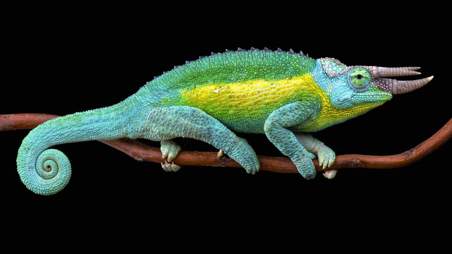 "A Jackson's chameleon resting on a branch. | From ""Hawaii: Islands of Wonder"""