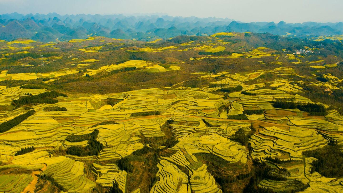 China turns yellow as millions of flowers bloom.