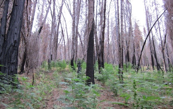 Marijuana cultivation in Sequoia National Park in 2009 | Photo: Courtesy National Park Service