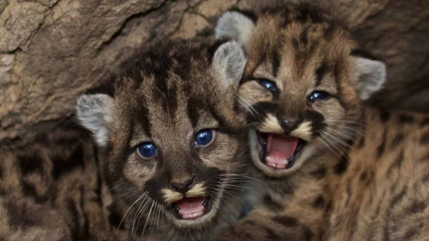 Mountain lion kittens P-46 and P-47 are estimated to be six to seven weeks old.