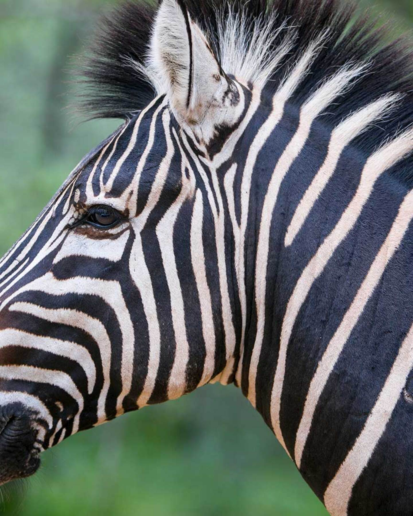 Zebra in South Africa's Kruger National Park.