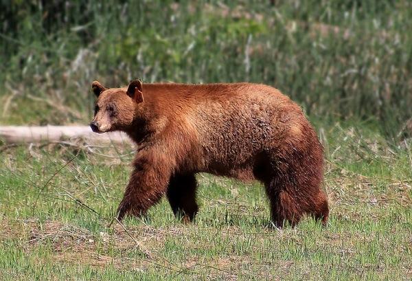 bears-in-popular-culture