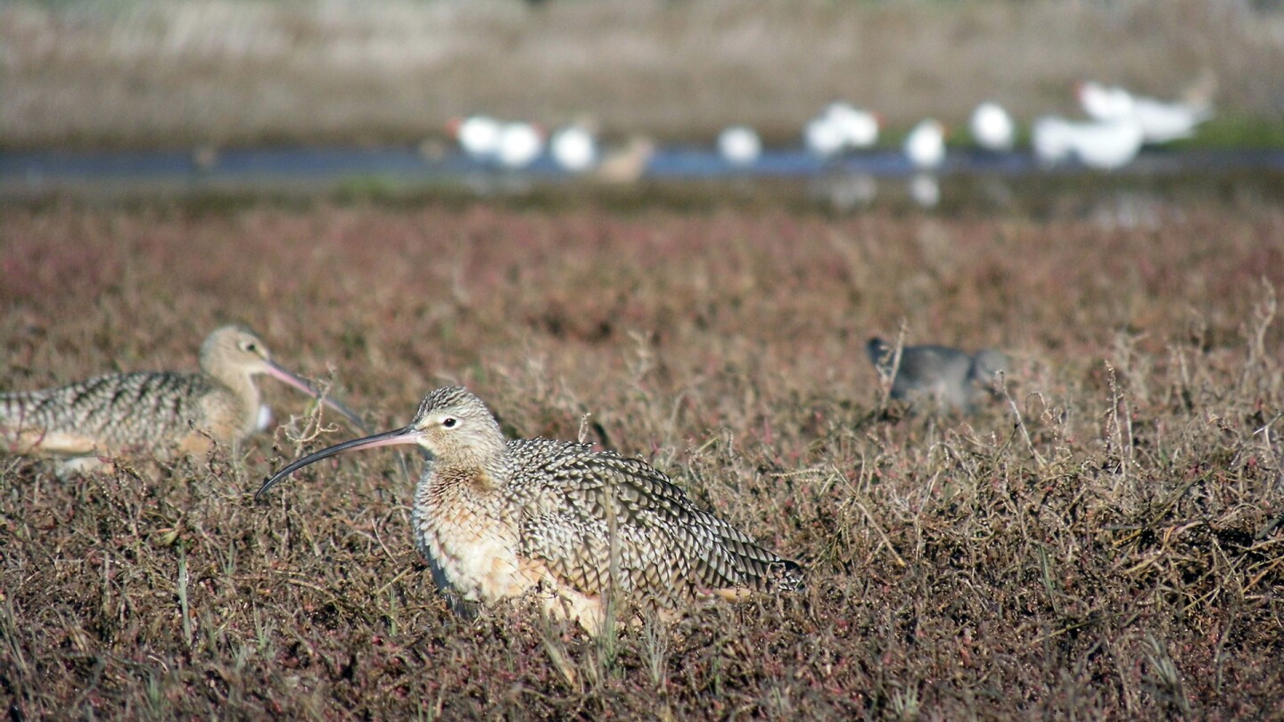 long billed curlew