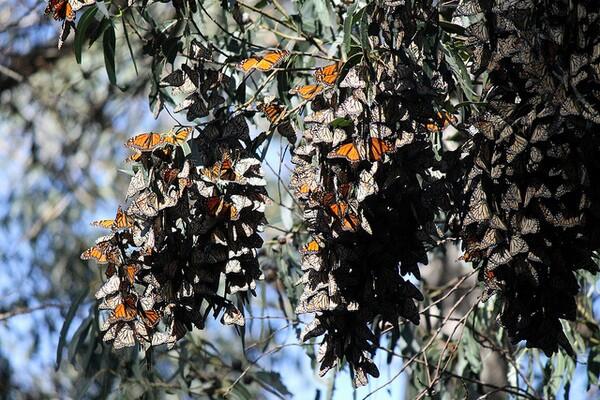 monarch-butterflies-in-trouble-1-30-14-thumb-600x400-67876