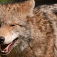 Smug coyote | Photo: Josh More, some rights reserved
