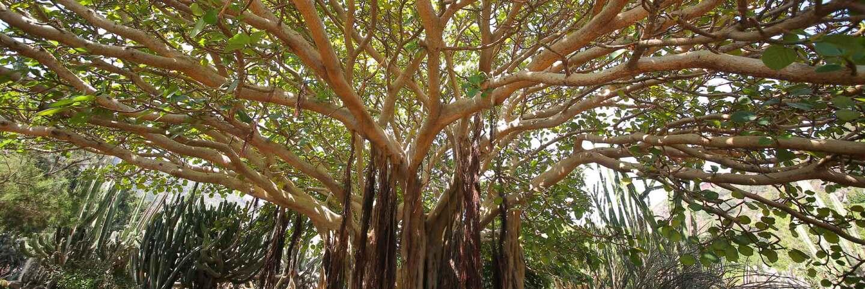 Moreon Bay fig | iStock/IVANVIEITO