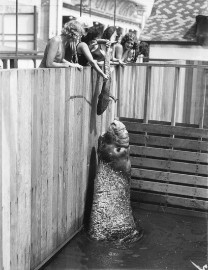 The first major amusement attraction on the pier was the Aquarium. In typical Kinney fashion, it housed the finest collection of Pacific Coast sea life.   Photo courtesy of Los Angeles Public Library