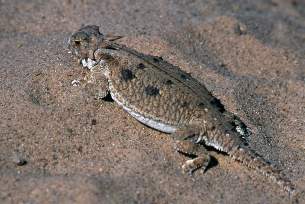 Flat tailed horned lizard | Basin and Range Watch photo