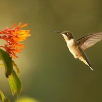"A hummingbird hovers beside a flower. | From ""Super Hummingbirds."""