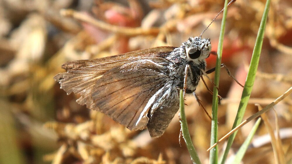 Yuma skipper in bulrushes at Dixie Meadows | Photo: Alan Schmierer, some rights reserved