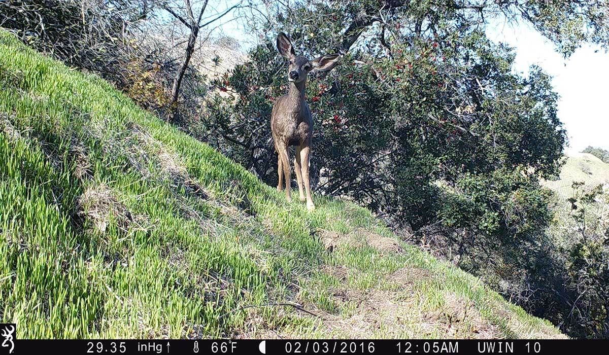 Deer spotted near the L.A. River on the National Park Service's new wildlife camera. | National Park Service/Public Domain