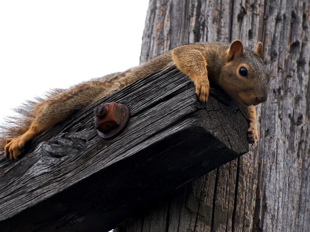 fox-squirrel-plotting-3-29-16.jpg