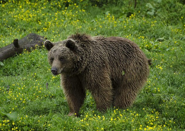 european-brown-bear-12-23-14-thumb-630x448-85714