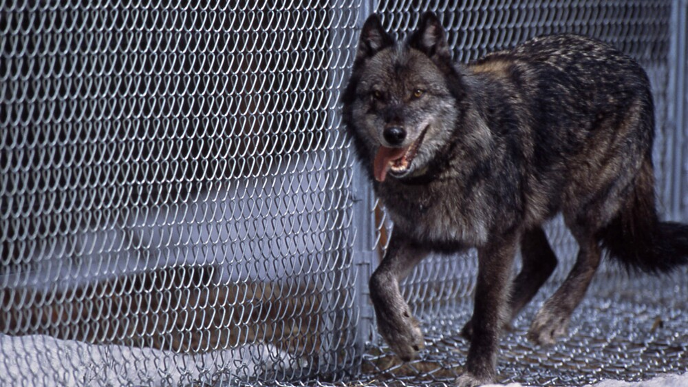 Wolf #9 before her first release into Yellowstone National Park, 1995 | Photo: Barry O'Neill/NPS