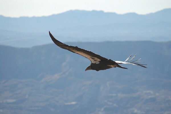 California condor #412 soars above the Los Padres National Forest   Photo by Pacific Southwest Region U.S. Fish and Wildlife Service via Creative Commons