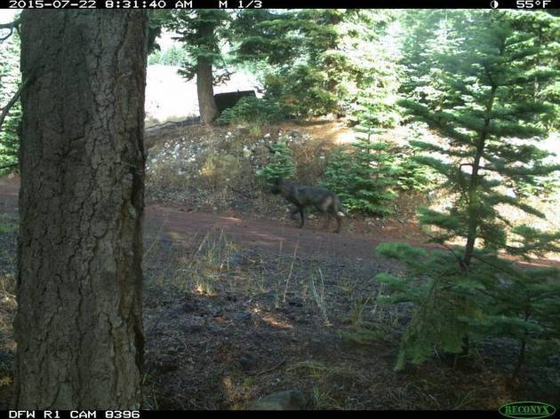 wolf-july2015_1-thumb-630x472-96167