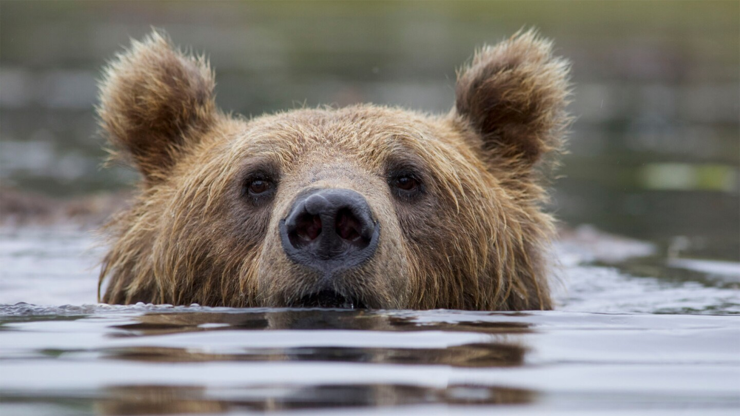 A grizzly bear peeks its head out from a body of water.