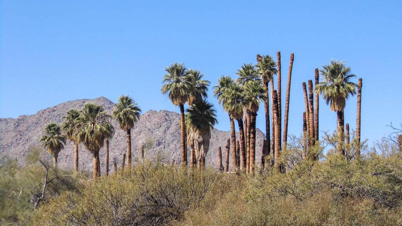 Palms at Corn Springs.
